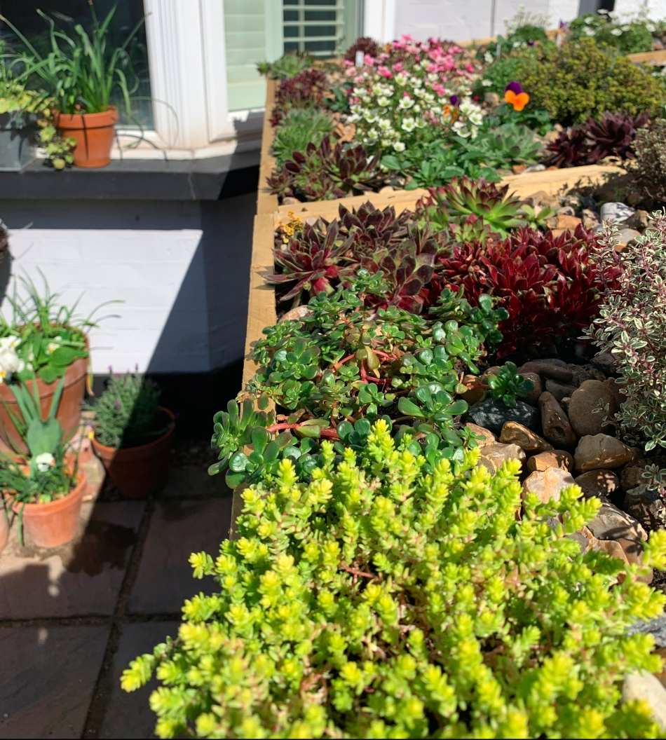 living roof with sedums sempervivums thyme saxifrage and violas