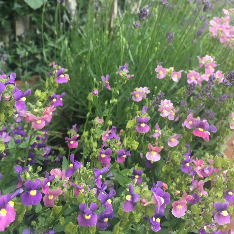 mixed nemesia and lavender