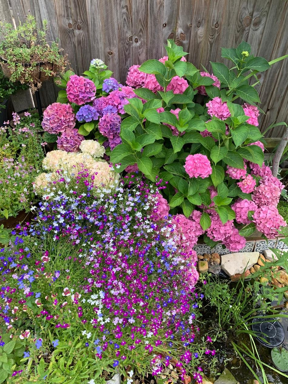 pink blue hydrangea and lobelia