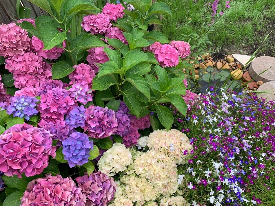 muticoloured pink blue hydrange