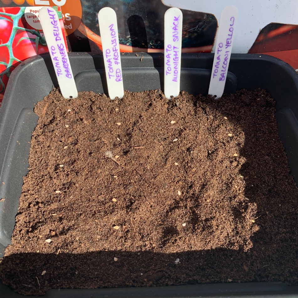 Sowing tomato seeds seed-tray