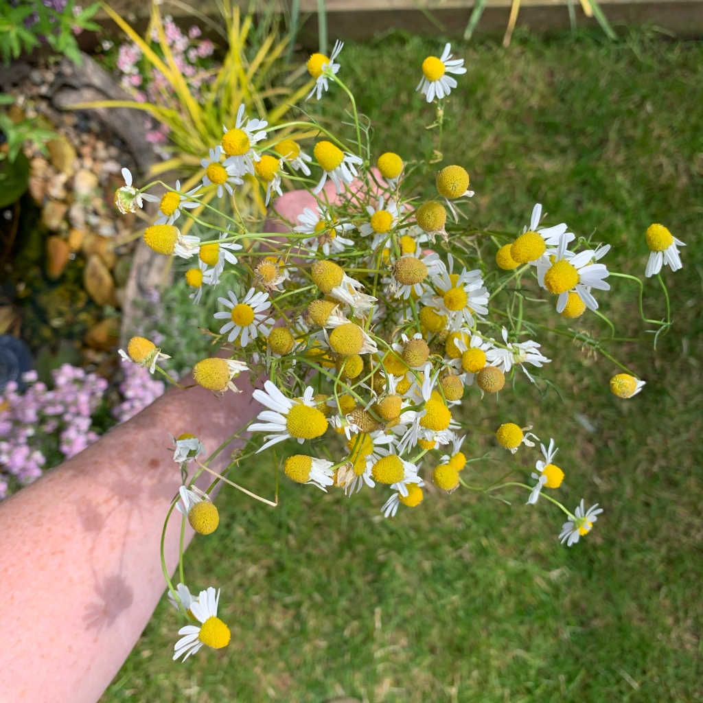 homegrown chamomile flowers