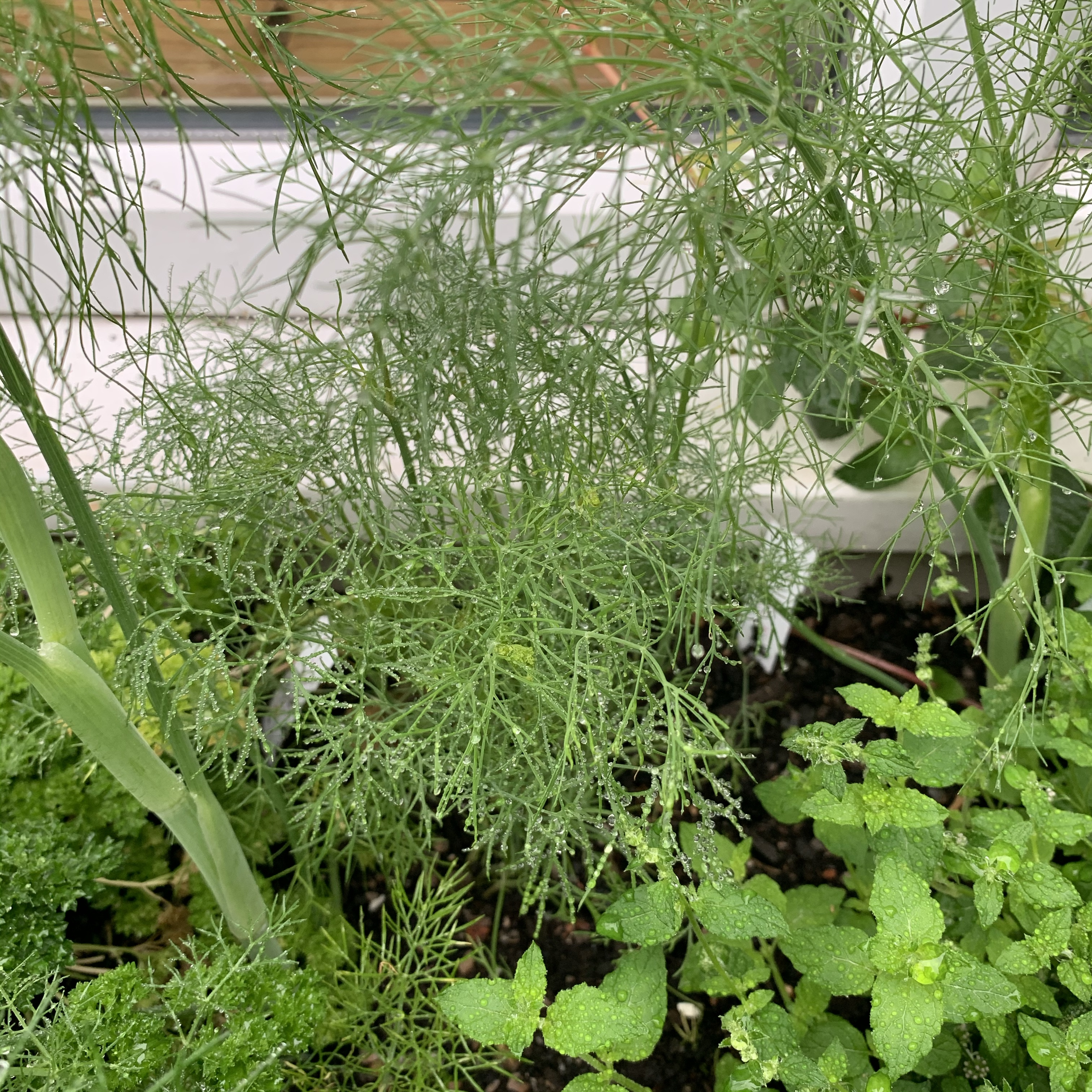 homegrown dill herb planter